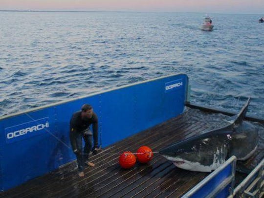Mary Lee, a 16-foot great white shark, is seen here in 2012 being tagged by OCEARCH. She was on the New Jersey coast again this fall.