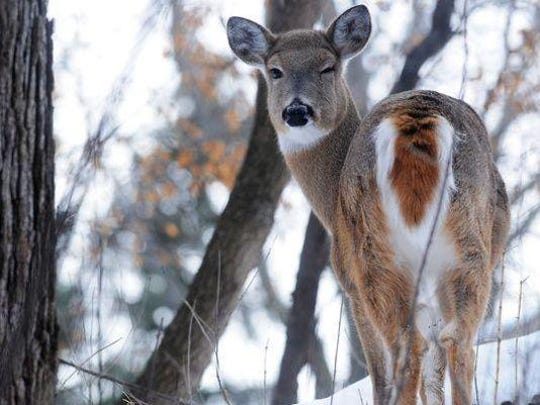 New research shows that chronic wasting disease may be causing some North American deer and elk herds to shrink and has heightened concerns the disease could jump species and begin to kill other animals.