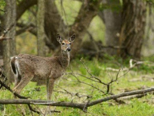 Deer in city limits can cause issues for traffic and homeowners.