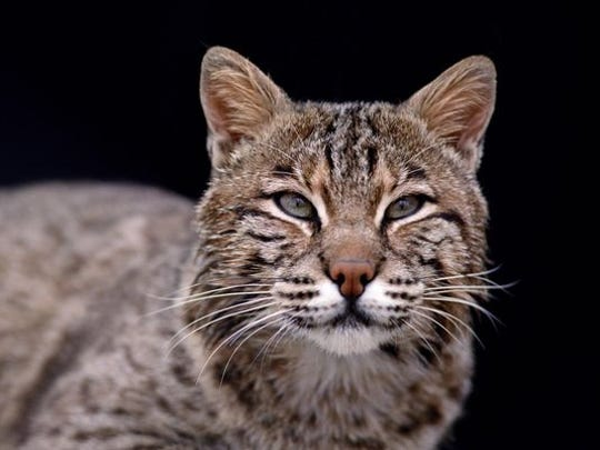 The bobcat, Indiana's most elusive predator.