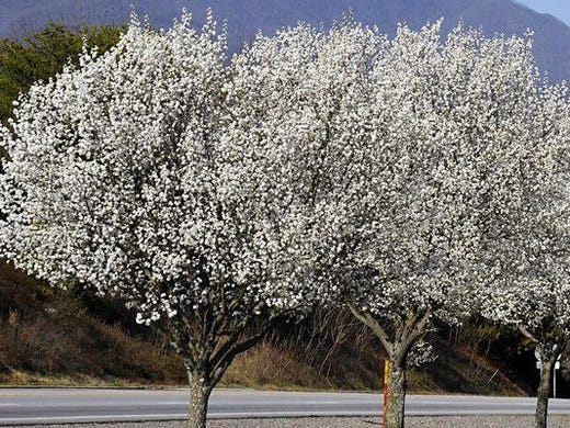 Bradford Pear Tree Unwelcome Sign Smell Of Kentucky Spring