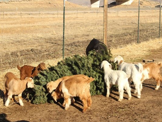 Christmas Tree Recycling-Goats