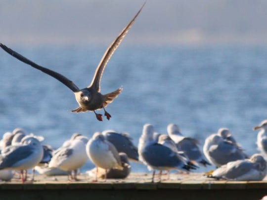 Seagulls jockey for a spot on a bayside dock in Lavallette.