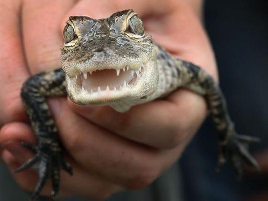 alligator Granville animal raid Aug 2014.jpg