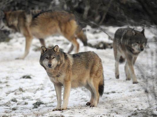 635546258201292813-wolves.jpg
