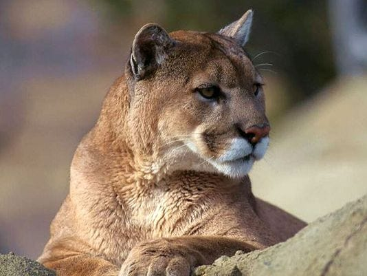mountain-lion-001.jpg
