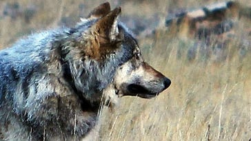 44 wolves taken in first wolf hunt in Wyoming since 2013