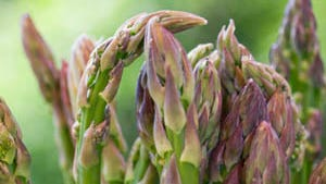 Asparagus is one of Michigan's agritourism mainstays.