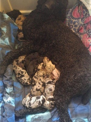 A total of 11 dogs were seized last month from a mobile home in rural Campbellsport. Two of the dogs, standard poodle sisters, came with a surprise, and gave birth to 19 puppies between them.