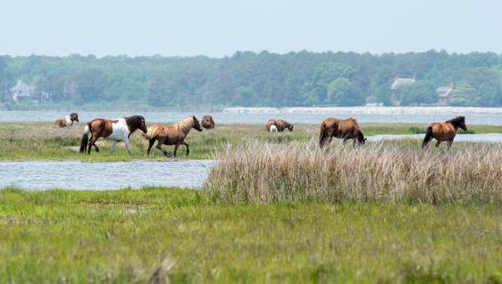 A herd of wild horses grazes in the marsh at Assateague Island National Seashore.