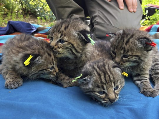 Four kittens were born to a young bobcat captured,