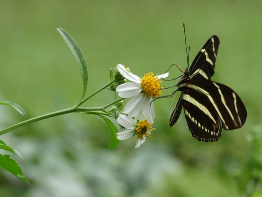 Zebra longwing is the Florida state butterfly.