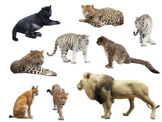 Elijescha : Big Cats!  |Big Cat Species