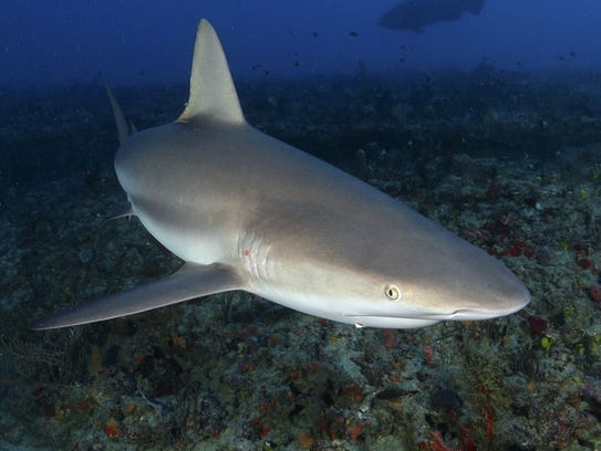 Kaikea Nakachi A Student At Florida Institute Of Technology Shot This Picture Caribbean Reef Shark Off West Palm Beach Photo Today