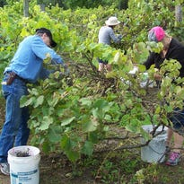 An abundant grape crop greeted pickers of the 2016 crop at Trout Springs Winery.