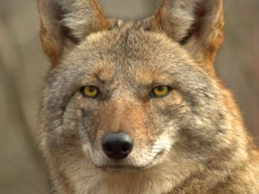 636239633141317609-coyotes3.jpg