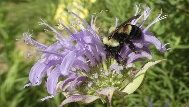 This 2016 file photo provided by The Xerces Society shows a rusty patched bumblebee in Minnesota, which was officially designated an endangered species March 21, 2017.
