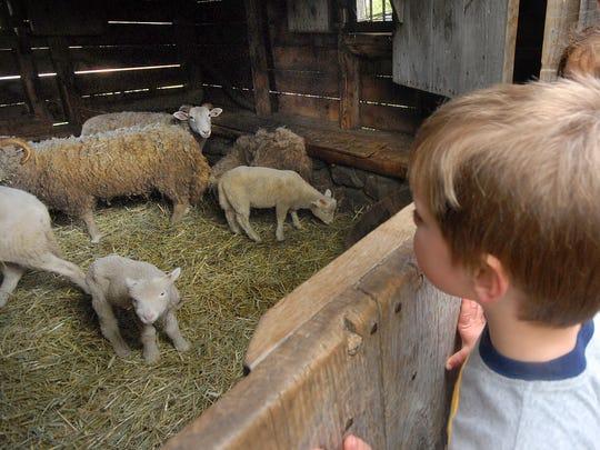 See farmers shear wool during Stone Barns Center's Sheep Shearing Festival.