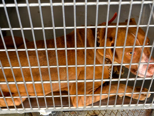 Poncho attacked a toddler and ripped the boy's left ear off. The neutered, licensed male pit bull is pictured here in impound and will be humanely euthanized.