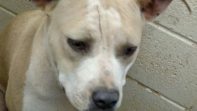 This mixed female blue fawn pit bull's name is Buttercup. She is a sweet playful animal. Buttercup's adoption fee is $169.38 plus tax. For more information about adopting a Pet of the Week or other furry friends visit Alamogordo Animal Control, 2910 N. Florida Ave., Monday through Saturday between noon and 5 p.m. or contact them at 439-4330.