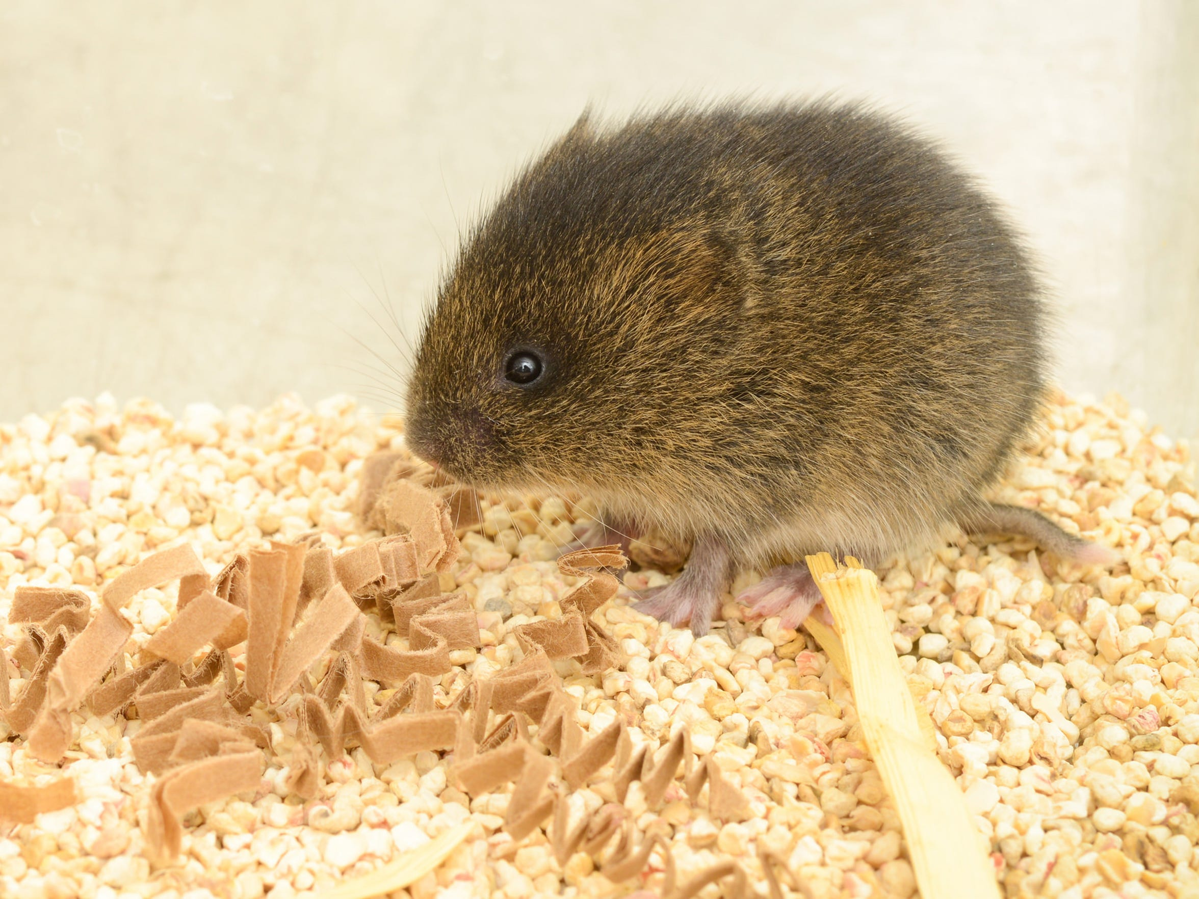 An Amargosa vole in captivity at the University of