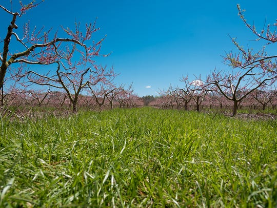Bellaire peach trees in Hail Bennett's peach orchard.