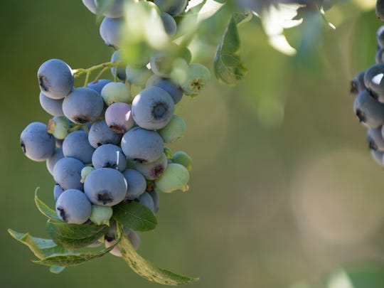 Healthy, sweet blueberries are a favorite in Northwest gardens.