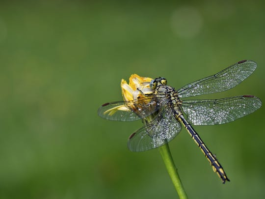 Don Miller spotted a gomphid dragonfly like this one at Norrie Point in Staatsburgh recently.