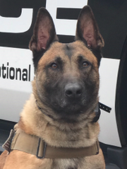 Leo, a police dog with the Oxnard Police Department.
