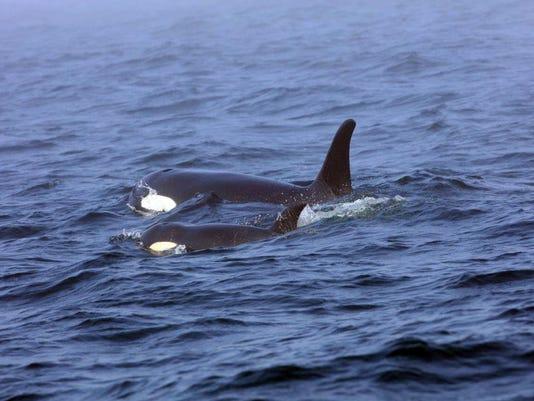 Endangered Orcas