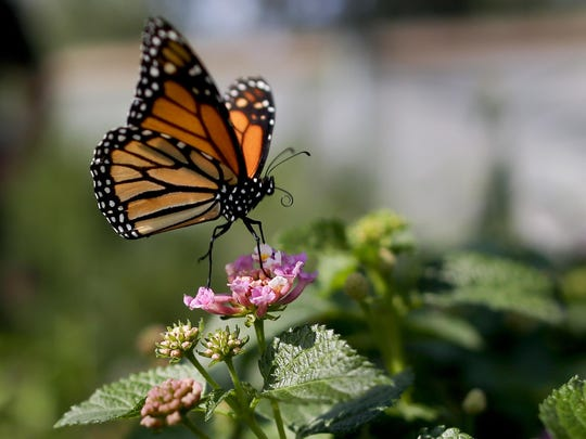 A monarch butterfly alights on a flower in Vista, Calif., in 2015.