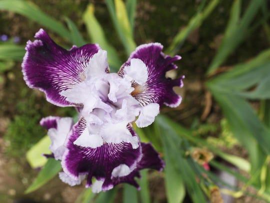 Schreiner's Iris Gardens Bloom Season, May 6-31