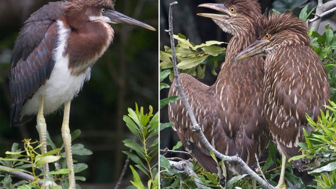 Adolescent tricolored heron looks gangly with a punk hairdo, while adolescent black-crowned night herons look like brown striped Muppets.
