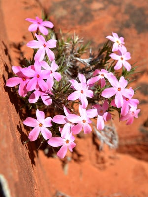 Pink desert phlox blooms in the Red Mountain Wilderness area.