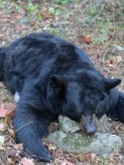 This 662-pound black bear was hunted by Lebanon resident Grant Ruhl on Nov. 21 in Potter County.