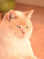 Giles is a male, 6-year-old, flamepoint and dilute