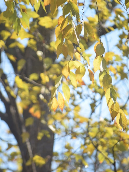 Golden Leaves of Elm Tree in Autumn Scenic Botanical