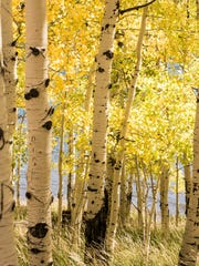A section of Pando, a large mass of quaking aspen consisting