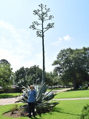"""I call it my 'Jack and the Beanstalk',"" said Cindy Randles about the blue agave sentry plant growing in her front yard. Buds can be seen at the top of the plant where yellow flowers will eventually bloom, said Randles. After the flowers bloom, the plant will die.  As to when the flowers will start to bloom, Randles doesn't have an idea but it will be soon."