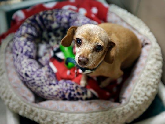 Buttercup, an elderly dachshund-Chihuahua mix, is waiting