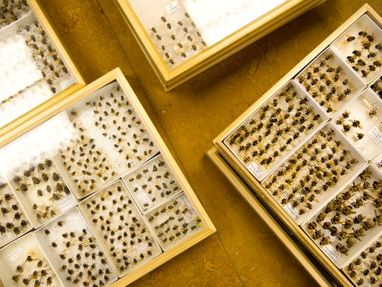 Dead for decades, rusty-patch bumblebees (Bombus affinis) populate the University of Vermont's Thompson Natural History collection.