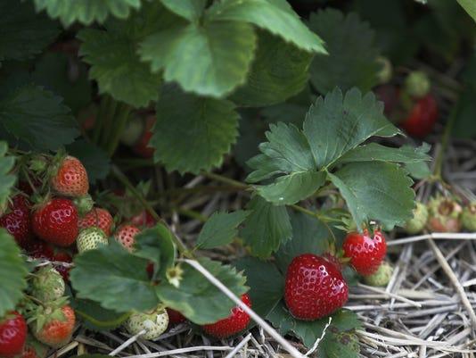 AL 061515 strawberries H