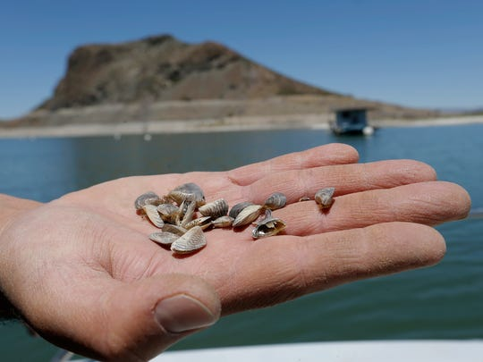 James Dominguez of New Mexico Game and Fish shows the Zebra Mussel which he is trying to keep out of New Mexico waters.