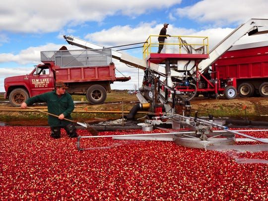 Conveyer belts shoot the fruit into trucks at Elm Lake Cranberry Co. near Wisconsin Rapids, Wis. (Katherine Rodeghier/Chicago Tribune/TNS)