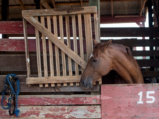 One of 31 horses evacuated from Geddaway Farms in Jacksonville,