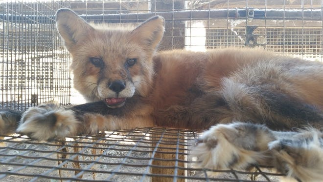 A fox in a cage at Dillenberg Fur Farm, town of Belle Plaine. People for the Ethical Treatment of Animals has accused the farm of inhumanely euthanizing minks and foxes.