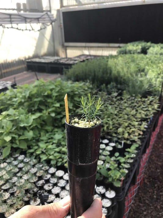 Conifer-seedlings.jpg