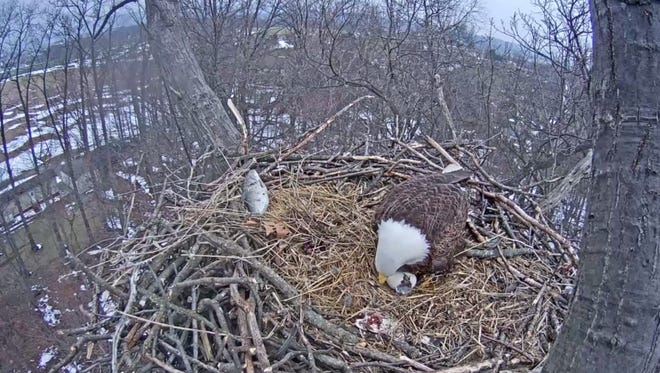 The second Hanover eaglet emerges from its egg on March 21, 2017.