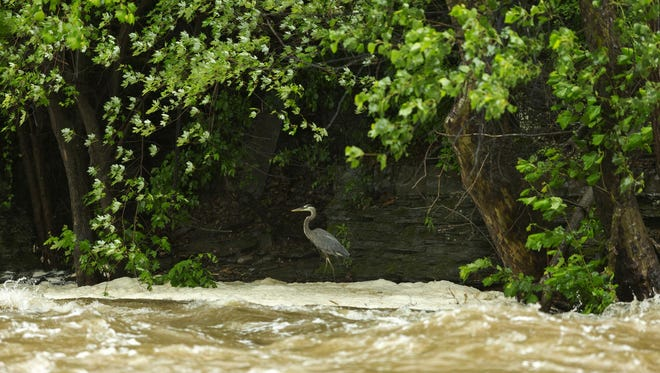 A heron works its way along the north bank of Fall Creek just below Ithaca Falls Tuesday afternoon as the rain swollen creek flows rapidly in front of it.