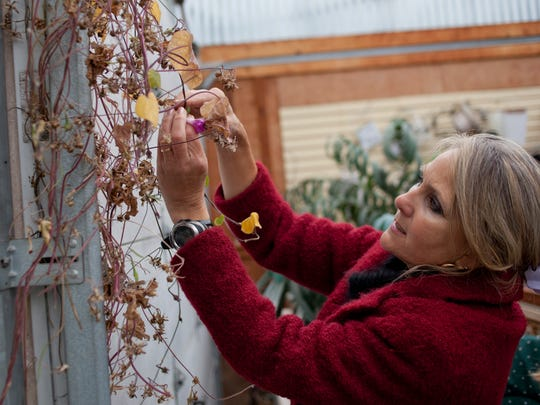 Wendy Greer harvests seeds from a morning glory Wednesday at her greenhouse in St. Clair Township.